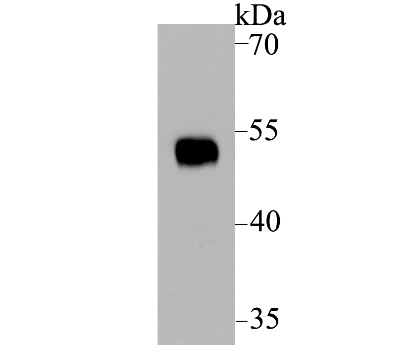 Western blot analysis of p53 on 239T using anti-p53 antibody at 1/1,000 dilution.