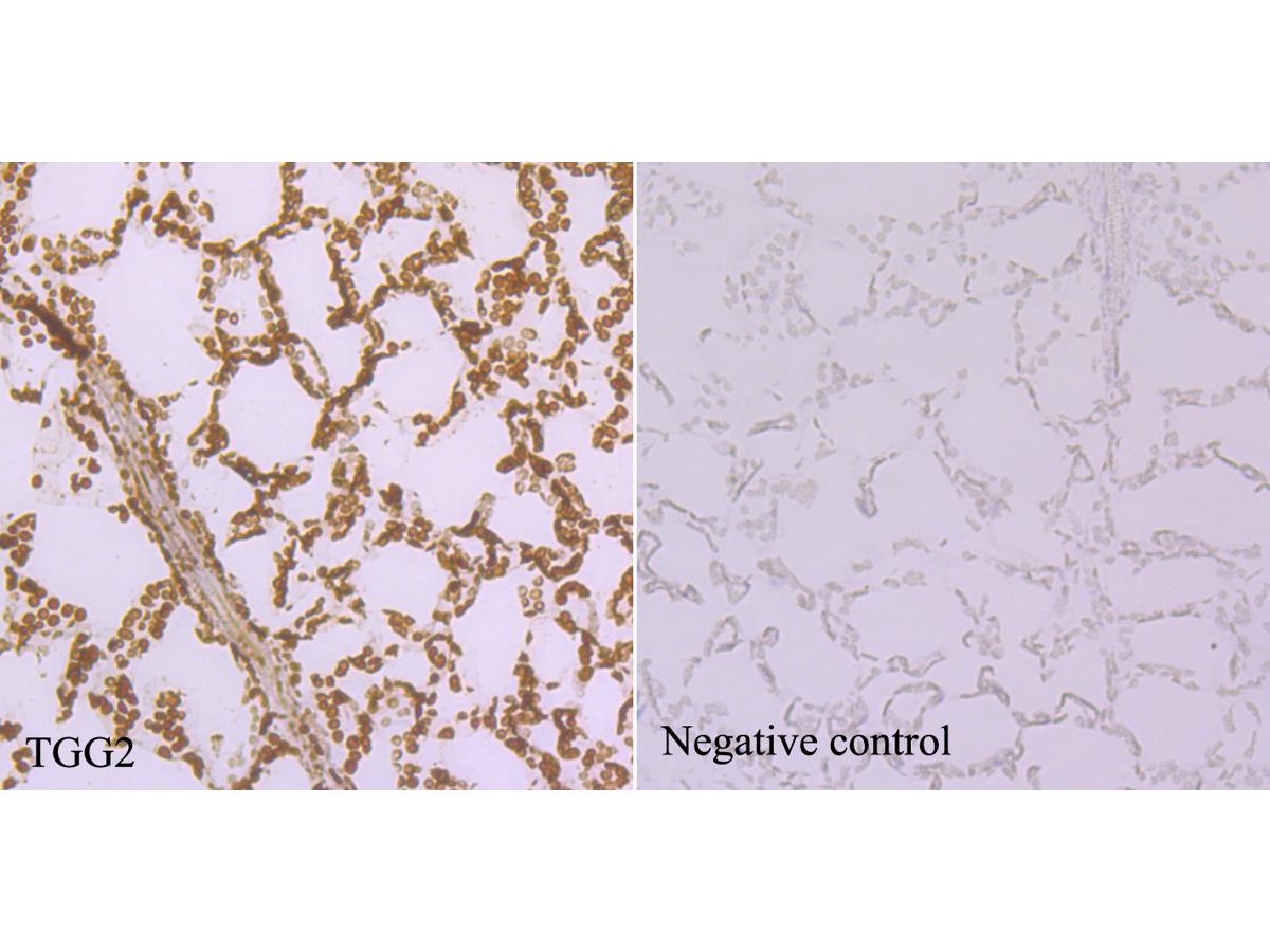 Immunohistochemical analysis of paraffin-embedded Arabidopsis thaliana tissue using anti-TGG2 antibody. Counter stained with hematoxylin.
