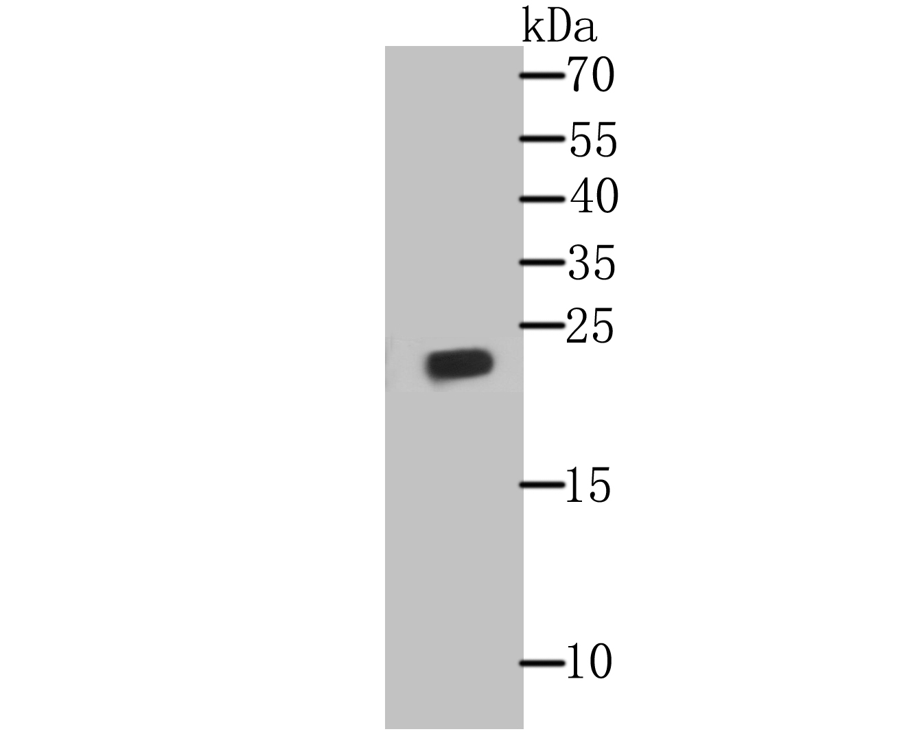 Western blot analysis of Glutathione Peroxidase 1 on THP-1 cell lysate using anti- Glutathione Peroxidase 1 antibody at 1/500 dilution.