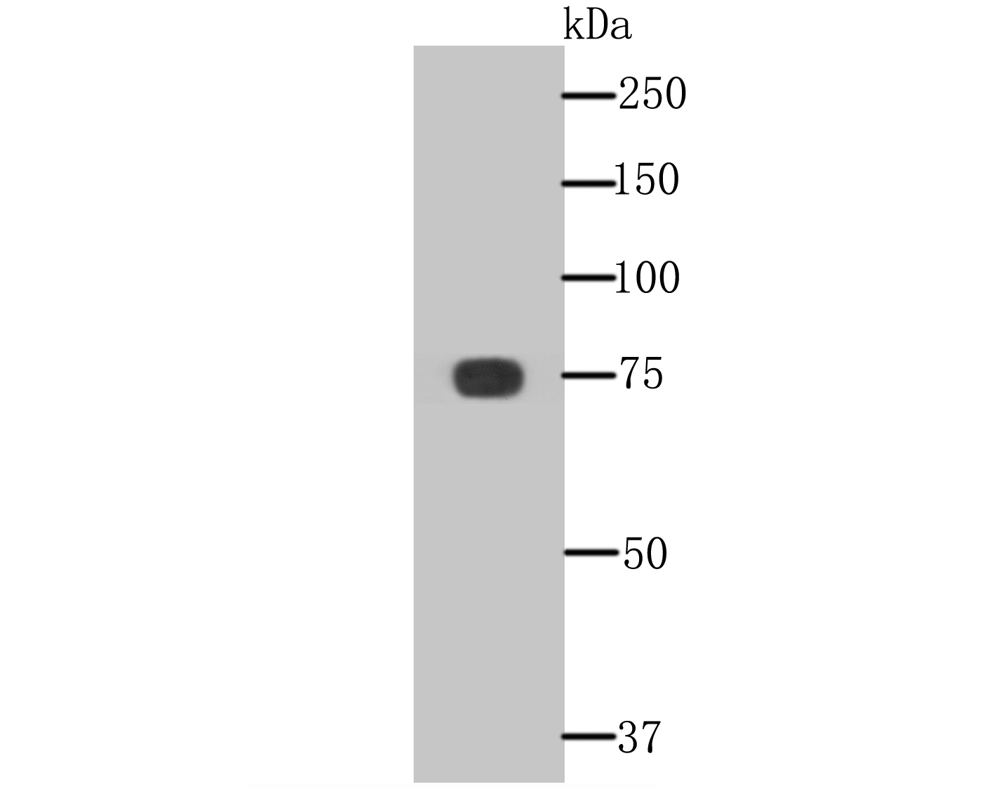Western blot analysis of KHSRP on Jurkat cell lysate using anti-KHSRP antibody at 1/500 dilution.