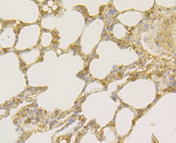 Immunohistochemical analysis of paraffin-embedded rat lung tissue using anti-Osteoprotegerin antibody. Counter stained with hematoxylin.