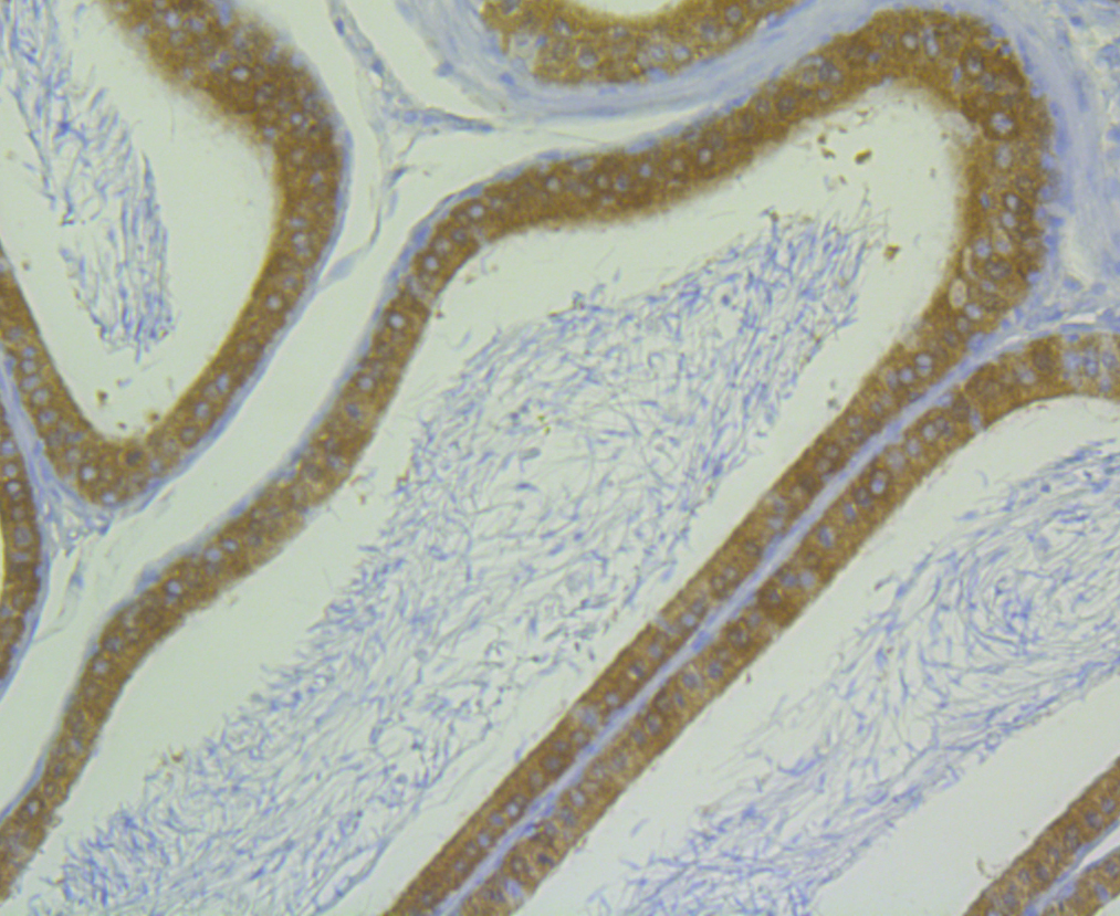 Immunohistochemical analysis of paraffin-embedded rat epididymis tissue using anti-ALDH1A1 antibody. Counter stained with hematoxylin.