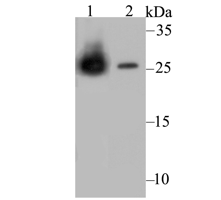 Western blot analysis of Carbonic anhydrase 2 on different cell lysates. Proteins were transferred to a PVDF membrane and blocked with 5% BSA in PBS for 1 hour at room temperature. The primary antibody was used at a 1:1,000 dilution in 5% BSA at room temperature for 2 hours. Goat Anti-Mouse IgG - HRP Secondary Antibody (HA1006) at 1:5,000 dilution was used for 1 hour at room temperature.<br />  Positive control: <br />  Lane 1: THP-1 cell lysate, untreated <br />  Lane 2: HL-60 cell lysate, untreated