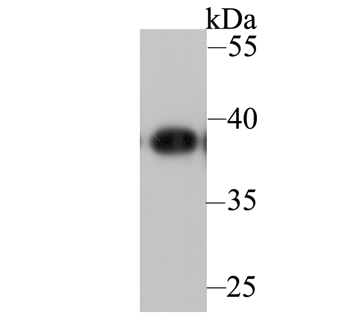 Western blot analysis of APE1 on HL-60 lysates. Proteins were transferred to a PVDF membrane and blocked with 5% BSA in PBS for 1 hour at room temperature. The primary antibody was used at a 1:1,000 dilution in 5% BSA at room temperature for 2 hours. Goat Anti-Mouse IgG - HRP Secondary Antibody (HA1006) at 1:5,000 dilution was used for 1 hour at room temperature.