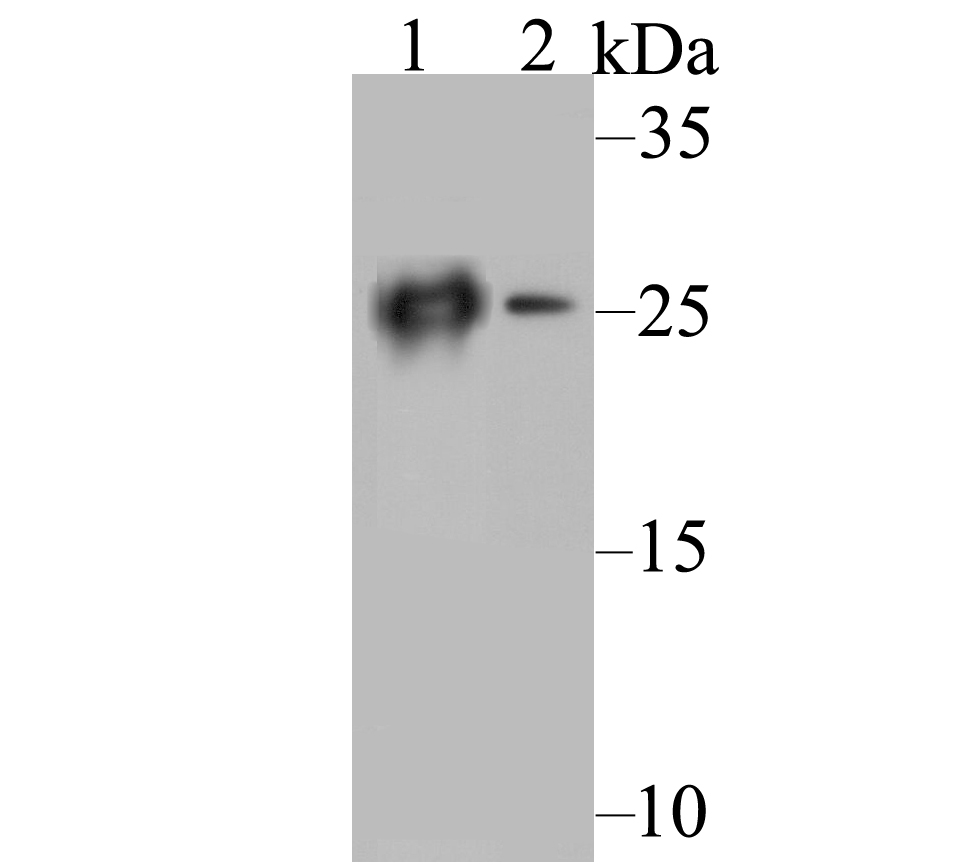 Western blot analysis of Carbonic anhydrase 2 on different cell lysates. Proteins were transferred to a PVDF membrane and blocked with 5% BSA in PBS for 1 hour at room temperature. The primary antibody was used at a 1:1,000 dilution in 5% BSA at room temperature for 2 hours. Goat Anti-Mouse IgG - HRP Secondary Antibody (HA1006) at 1:5,000 dilution was used for 1 hour at room temperature.<br />  Positive control: <br />  Lane 1: THP-1 cell lysate<br />  Lane 2: HL-60 cell lysate