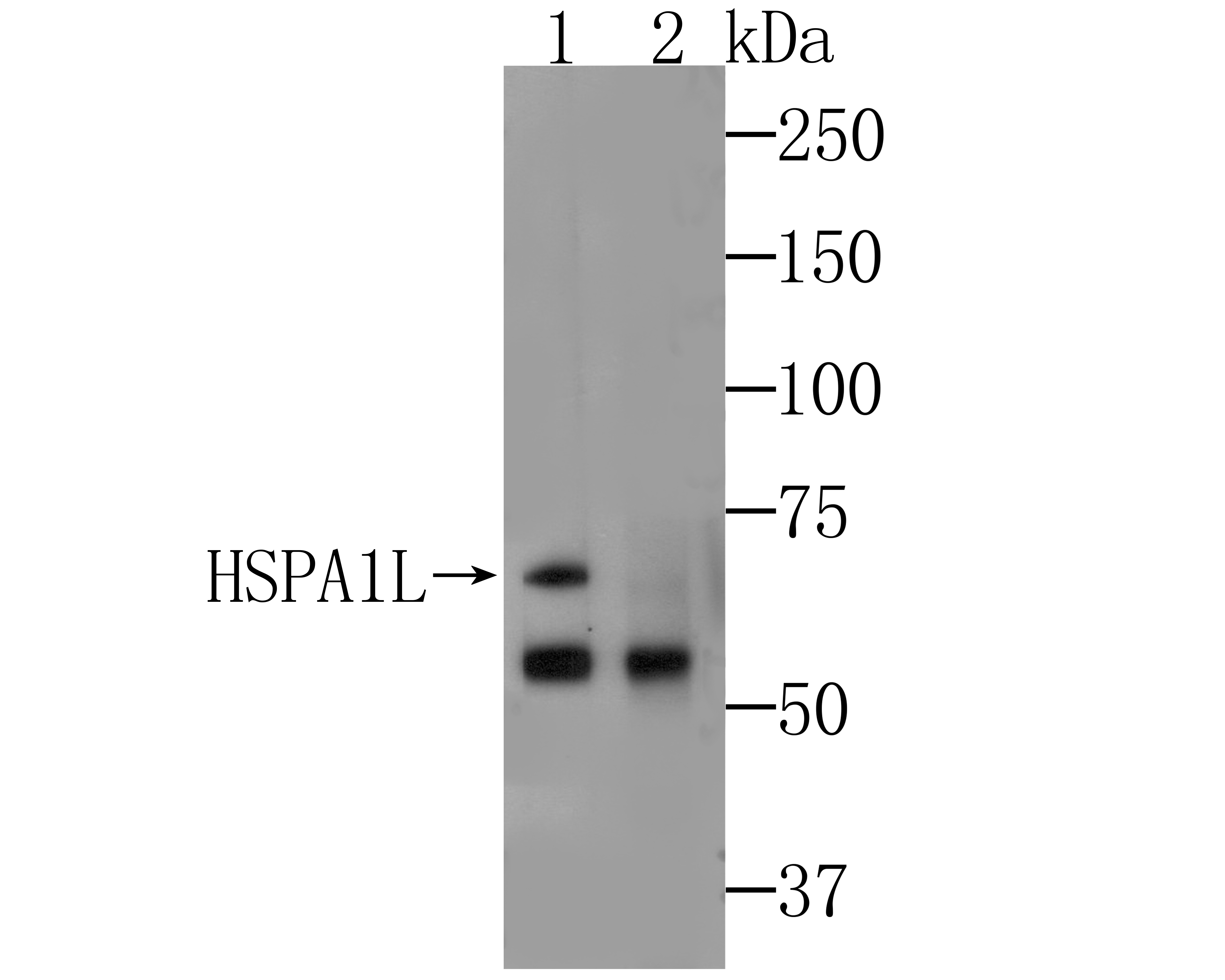 Western blot analysis of HSPA1L on A549 cell lysates. Proteins were transferred to a PVDF membrane and blocked with 5% BSA in PBS for 1 hour at room temperature. The primary antibody was used at a 1:500 dilution in 5% BSA at room temperature for 2 hours. Goat Anti-Mouse IgG - HRP Secondary Antibody (HA1006) at 1:5,000 dilution was used for 1 hour at room temperature.<br /> <br /> Lane 1: Anti-HSPA1L Antibody, (1:500).<br /> Lane 2: Anti-HSPA1L Antibody, preincubated with immunization protein.