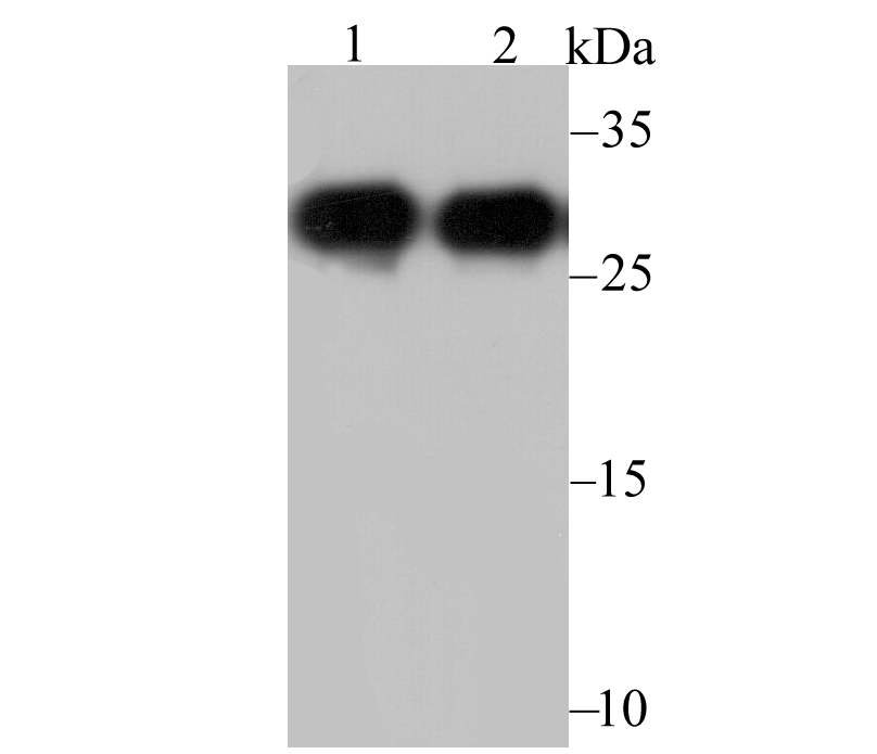 Western blot analysis of NQO1 on different lysates. Proteins were transferred to a PVDF membrane and blocked with 5% BSA in PBS for 1 hour at room temperature. The primary antibody was used at a 1:5,000 dilution in 5% BSA at room temperature for 2 hours. Goat Anti-Mouse IgG - HRP Secondary Antibody (HA1006) at 1:5,000 dilution was used for 1 hour at room temperature.<br /> Positive control: <br /> Lane 1: SiHa cell lysate, untreated <br /> Lane 2: A549 cell lysate, untreated