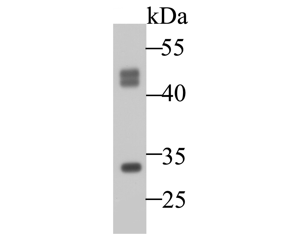 Western blot analysis of Cathepsin D on MCF-7 cell lysate. Proteins were transferred to a PVDF membrane and blocked with 5% BSA in PBS for 1 hour at room temperature. The primary antibody was used at a 1:50,000 dilution in 5% BSA at room temperature for 2 hours. Goat Anti-Mouse IgG - HRP Secondary Antibody (HA1006) at 1:5,000 dilution was used for 1 hour at room temperature.
