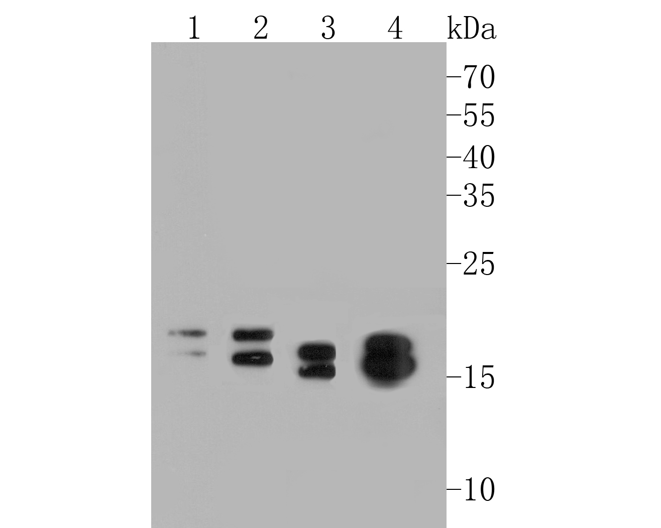 Western blot analysis of NM23 on different lysates. Proteins were transferred to a PVDF membrane and blocked with 5% BSA in PBS for 1 hour at room temperature. The primary antibody (EM1901-09, 1/500) was used in 5% BSA at room temperature for 2 hours. Goat Anti-Mouse IgG - HRP Secondary Antibody (HA1001) at 1:5,000 dilution was used for 1 hour at room temperature.<br /> Positive control: <br /> Lane 1: K562 cell lysate<br /> Lane 2: A549 cell lysate<br /> Lane 3: HepG2 cell lysate<br /> Lane 4: 293 cell lysate