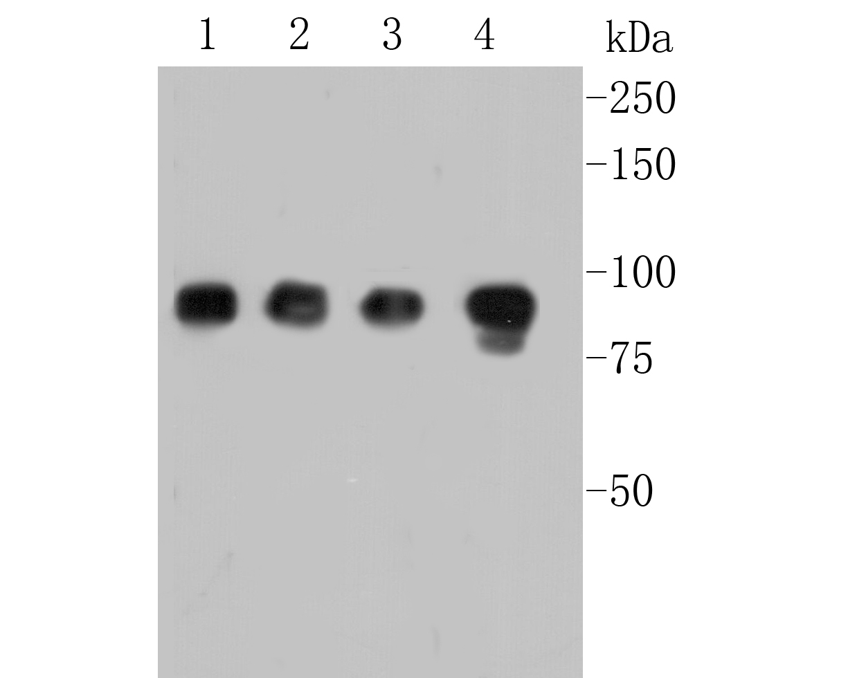 Western blot analysis of MCM7 on different lysates. Proteins were transferred to a PVDF membrane and blocked with 5% BSA in PBS for 1 hour at room temperature. The primary antibody (EM1901-12, 1/500) was used in 5% BSA at room temperature for 2 hours. Goat Anti-Mouse IgG - HRP Secondary Antibody (HA1006) at 1:5,000 dilution was used for 1 hour at room temperature.<br /> Positive control: <br /> Lane 1: HL-60 cell lysate<br /> Lane 2: 293 cell lysate<br /> Lane 3: PC-12 cell lysate<br /> Lane 4: K562 cell lysate