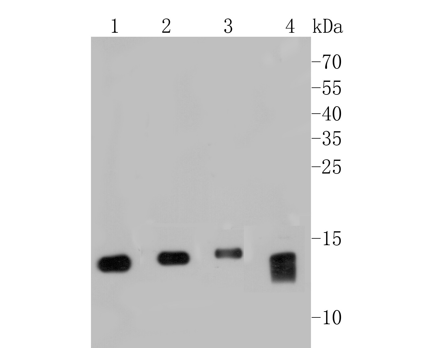 Western blot analysis of MGST1 on different lysates. Proteins were transferred to a PVDF membrane and blocked with 5% BSA in PBS for 1 hour at room temperature. The primary antibody (EM1901-13, 1/500) was used in 5% BSA at room temperature for 2 hours. Goat Anti-Mouse IgG - HRP Secondary Antibody (HA1006) at 1:5,000 dilution was used for 1 hour at room temperature.<br /> Positive control: <br /> Lane 1: SiHa cell lysate<br /> Lane 2: HepG2 cell lysate<br /> Lane 3: A549 cell lysate<br /> Lane 4: U937 cell lysate