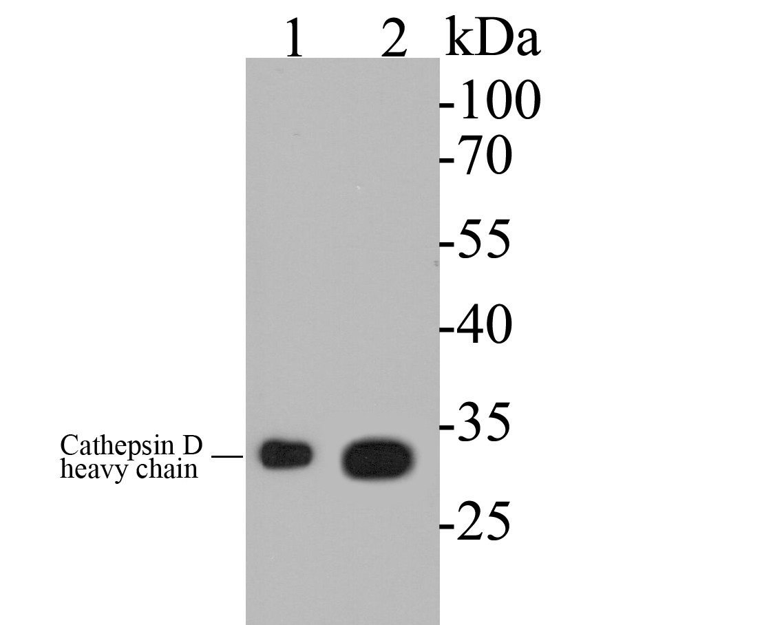 Western blot analysis of Cathepsin D on different lysates. Proteins were transferred to a PVDF membrane and blocked with 5% BSA in PBS for 1 hour at room temperature. The primary antibody (EM1901-17, 1/500) was used in 5% BSA at room temperature for 2 hours. Goat Anti-Mouse IgG - HRP Secondary Antibody (HA1006) at 1:5,000 dilution was used for 1 hour at room temperature.<br /> Positive control: <br /> Lane 1: SK-Br-3 cell lysate<br /> Lane 2: MCF-7 cell lysate
