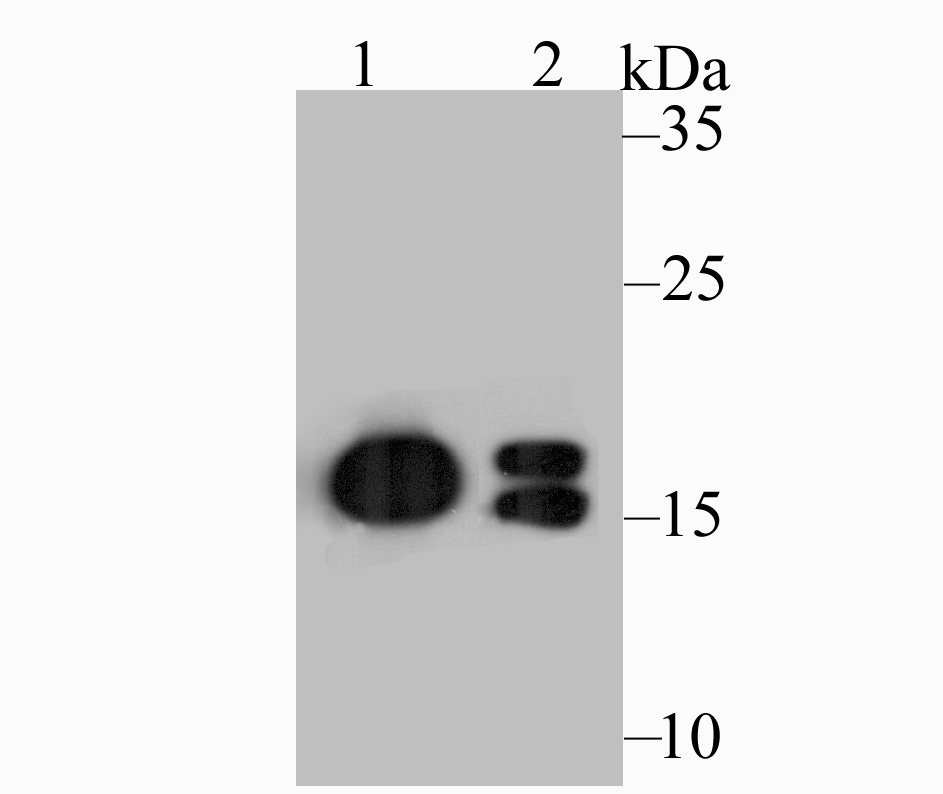 Western blot analysis of NM23 on different lysates. Proteins were transferred to a PVDF membrane and blocked with 5% BSA in PBS for 1 hour at room temperature. The primary antibody was used at a 1:500 dilution in 5% BSA at room temperature for 2 hours. Goat Anti-Mouse IgG - HRP Secondary Antibody (HA1006) at 1:5,000 dilution was used for 1 hour at room temperature.<br /> Positive control: <br /> Lane 1: HepG2 cell lysate<br /> Lane 2: A549 cell lysate