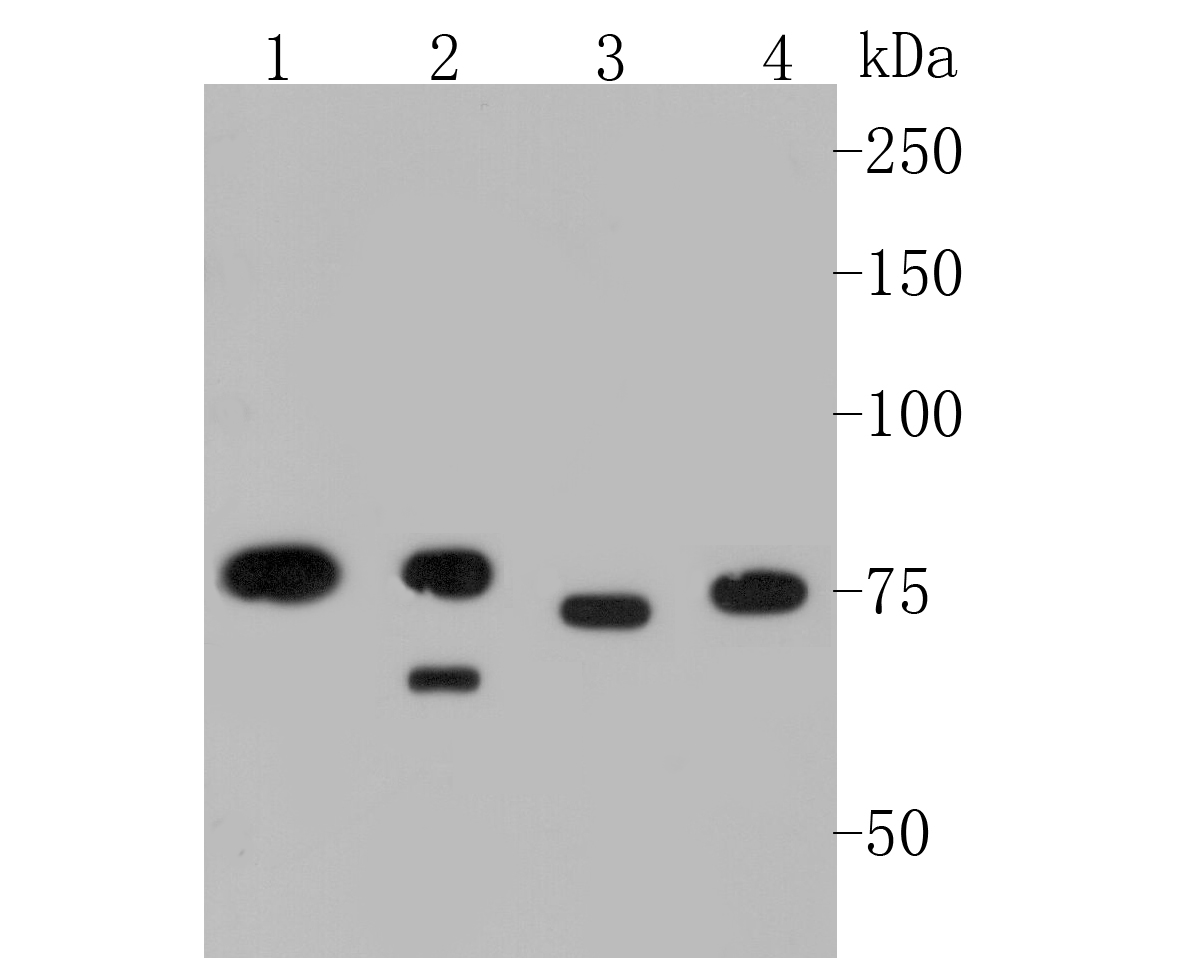 Western blot analysis of MTA2 on different lysates. Proteins were transferred to a PVDF membrane and blocked with 5% BSA in PBS for 1 hour at room temperature. The primary antibody (EM1901-34, 1/500) was used in 5% BSA at room temperature for 2 hours. Goat Anti-Mouse IgG - HRP Secondary Antibody (HA1006) at 1:5,000 dilution was used for 1 hour at room temperature.<br /> Positive control: <br /> Lane 1: K562 cell lysate<br /> Lane 2: MCF-7 cell lysate<br /> Lane 3: SH-SY5Y cell lysate<br /> Lane 4: Daudi cell lysate