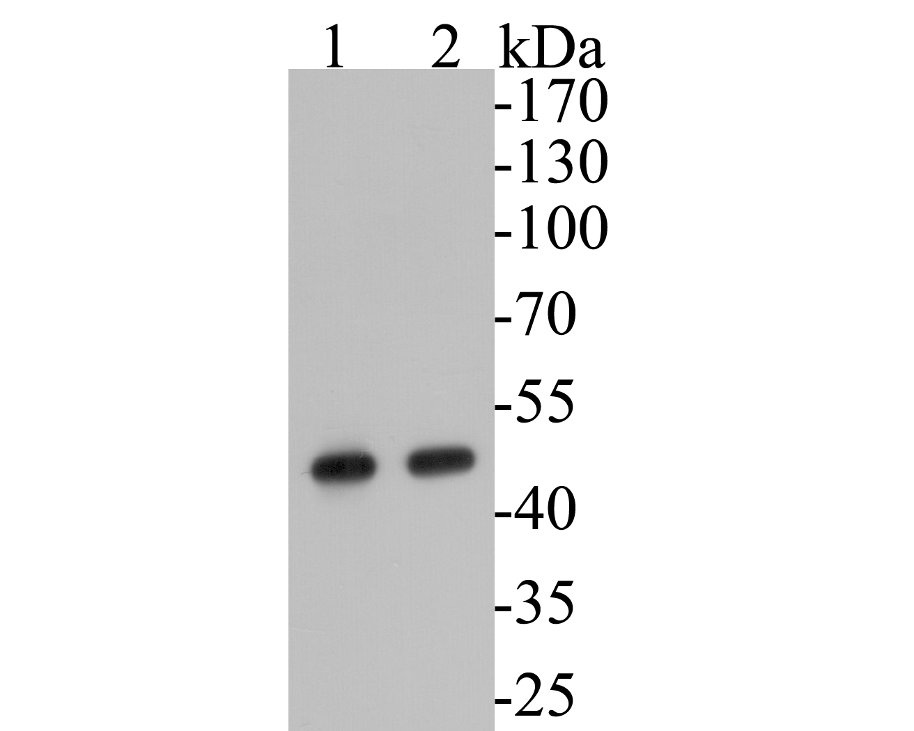 Western blot analysis of Aspartate Aminotransferase on different lysates. Proteins were transferred to a PVDF membrane and blocked with 5% BSA in PBS for 1 hour at room temperature. The primary antibody (EM1901-50, 1/500) was used in 5% BSA at room temperature for 2 hours. Goat Anti-Mouse IgG - HRP Secondary Antibody (HA1006) at 1:5,000 dilution was used for 1 hour at room temperature.<br />  Positive control: <br />  Lane 1: HepG2 cell lysate<br />  Lane 2: K562 cell lysate