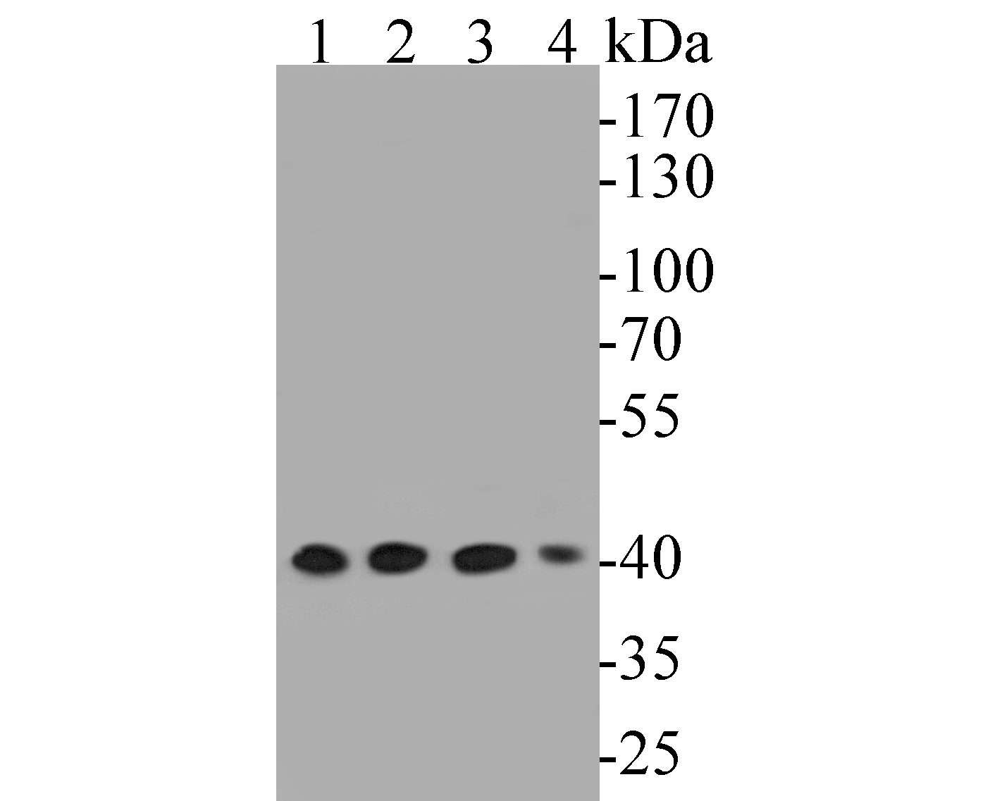 Western blot analysis of ERK2 on different lysates. Proteins were transferred to a PVDF membrane and blocked with 5% BSA in PBS for 1 hour at room temperature. The primary antibody (EM1901-53, 1/500) was used in 5% BSA at room temperature for 2 hours. Goat Anti-Mouse IgG - HRP Secondary Antibody (HA1006) at 1:5,000 dilution was used for 1 hour at room temperature.<br /> Positive control: <br /> Lane 1: Hela cell lysate<br /> Lane 2: 293T cell lysate<br /> Lane 1: NIH/3T3 cell lysate<br /> Lane 2: K562 cell lysate