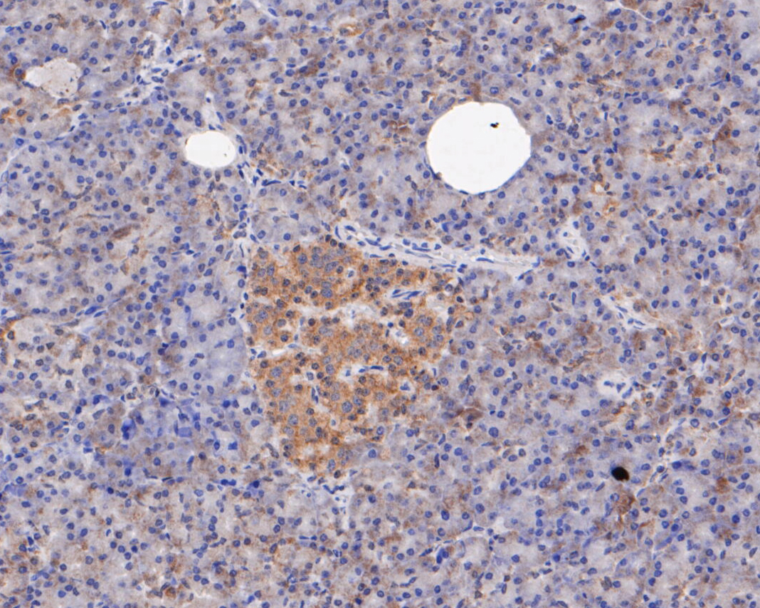 Immunohistochemical analysis of paraffin-embedded human pancreas tissue using anti-ERK2 antibody. The section was pre-treated using heat mediated antigen retrieval with sodium citrate buffer (pH 6.0) for 20 minutes. The tissues were blocked in 5% BSA for 30 minutes at room temperature, washed with ddH2O and PBS, and then probed with the primary antibody (EM1901-55, 1/100) for 30 minutes at room temperature. The detection was performed using an HRP conjugated compact polymer system. DAB was used as the chromogen. Tissues were counterstained with hematoxylin and mounted with DPX.
