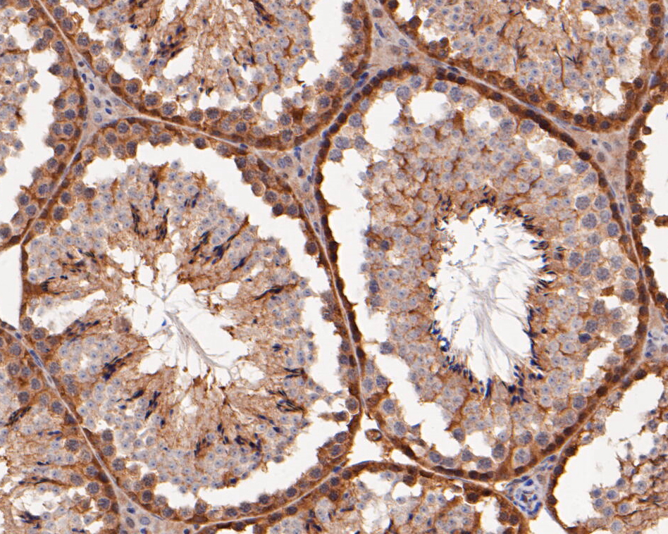 Immunohistochemical analysis of paraffin-embedded mouse testis tissue using anti-ERK2 antibody. The section was pre-treated using heat mediated antigen retrieval with sodium citrate buffer (pH 6.0) for 20 minutes. The tissues were blocked in 5% BSA for 30 minutes at room temperature, washed with ddH2O and PBS, and then probed with the primary antibody (EM1901-55, 1/100) for 30 minutes at room temperature. The detection was performed using an HRP conjugated compact polymer system. DAB was used as the chromogen. Tissues were counterstained with hematoxylin and mounted with DPX.