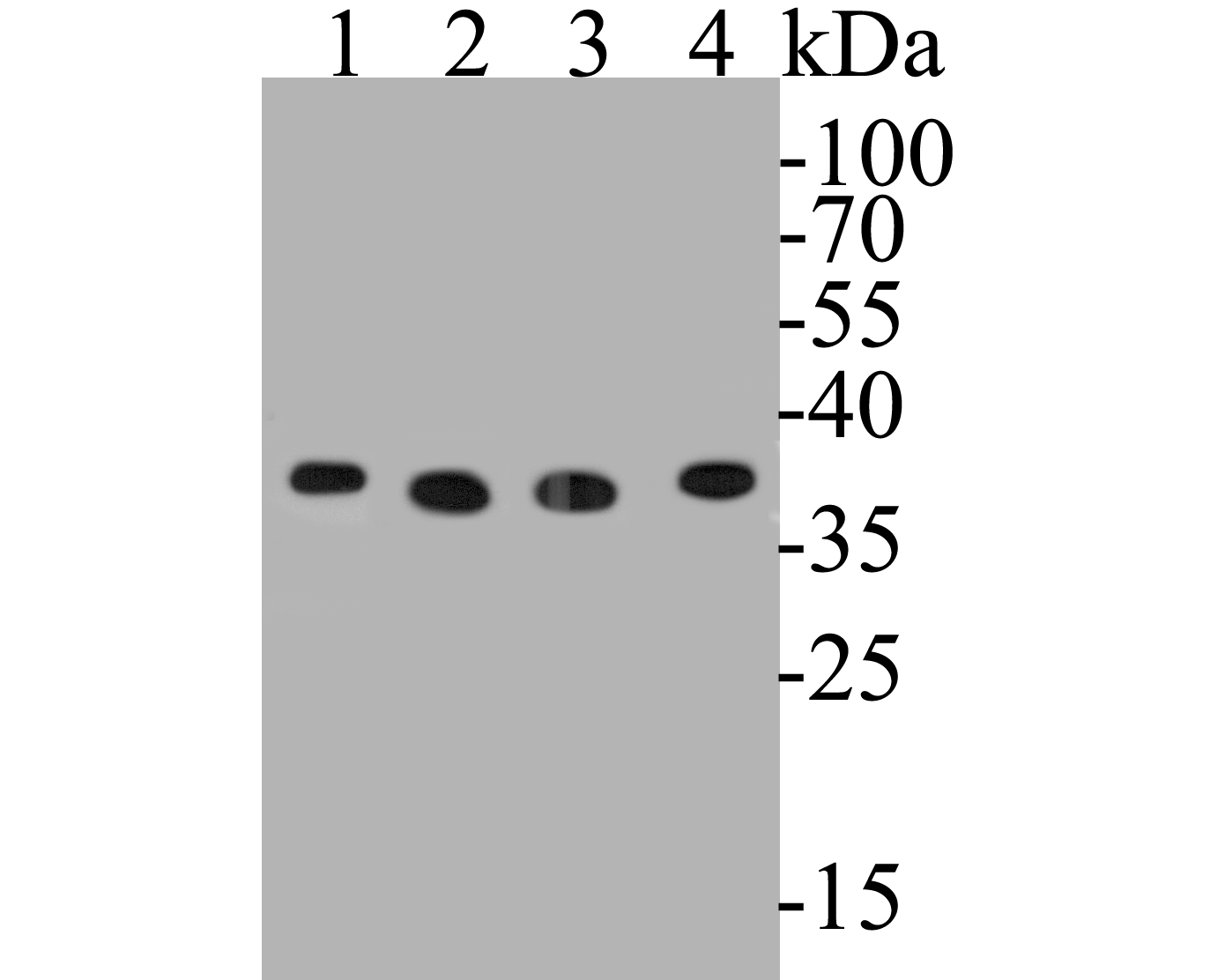 Western blot analysis of GAPDH on different lysates. Proteins were transferred to a PVDF membrane and blocked with 5% BSA in PBS for 1 hour at room temperature. The primary antibody (EM1901-57, 1/2,000) was used in 5% BSA at room temperature for 2 hours. Goat Anti-Mouse IgG - HRP Secondary Antibody (HA1006) at 1:5,000 dilution was used for 1 hour at room temperature.<br /> Positive control: <br /> Lane 1: HepG2 cell lysate<br /> Lane 2: PC-12 cell lysate<br /> Lane 3: F9 cell lysate<br /> Lane 4: A549 cell lysate