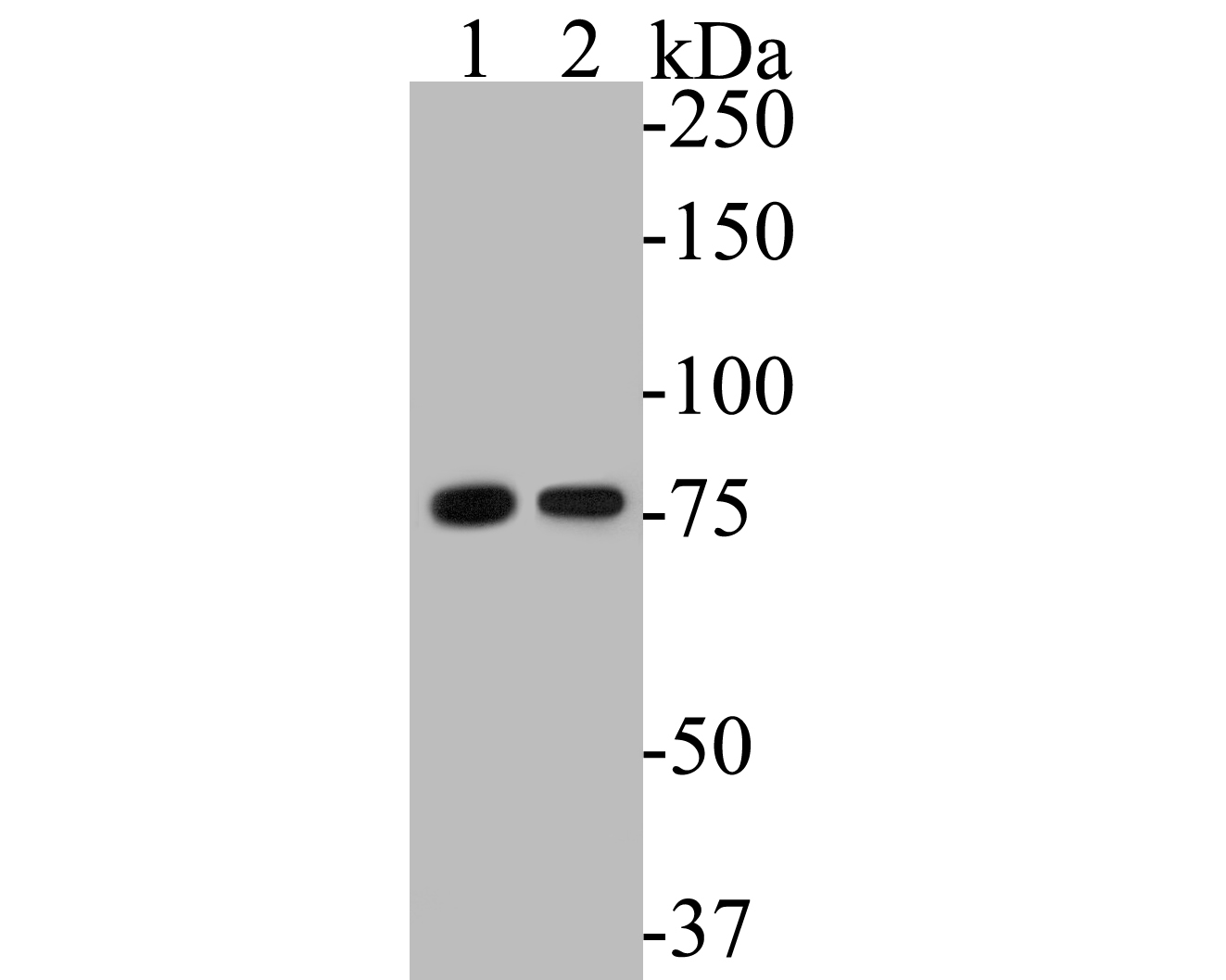Western blot analysis of LYRIC on different lysates. Proteins were transferred to a PVDF membrane and blocked with 5% BSA in PBS for 1 hour at room temperature. The primary antibody (EM1901-60, 1/500) was used in 5% BSA at room temperature for 2 hours. Goat Anti-Mouse IgG - HRP Secondary Antibody (HA1006) at 1:5,000 dilution was used for 1 hour at room temperature.<br />  Positive control: <br />  Lane 1: MCF-7 cell lysate<br />  Lane 2: Jurkat cell lysate