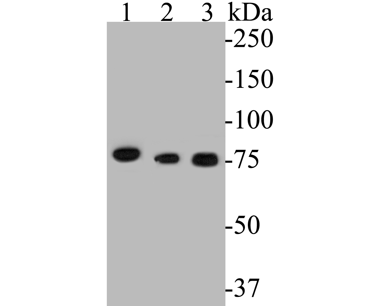 Western blot analysis of LYRIC on different lysates. Proteins were transferred to a PVDF membrane and blocked with 5% BSA in PBS for 1 hour at room temperature. The primary antibody (EM1901-61, 1/500) was used in 5% BSA at room temperature for 2 hours. Goat Anti-Mouse IgG - HRP Secondary Antibody (HA1006) at 1:5,000 dilution was used for 1 hour at room temperature.<br />  Positive control: <br />  Lane 1: MCF-7 cell lysate<br />  Lane 2: Jurkat cell lysate<br />  Lane 3: Hela cell lysate