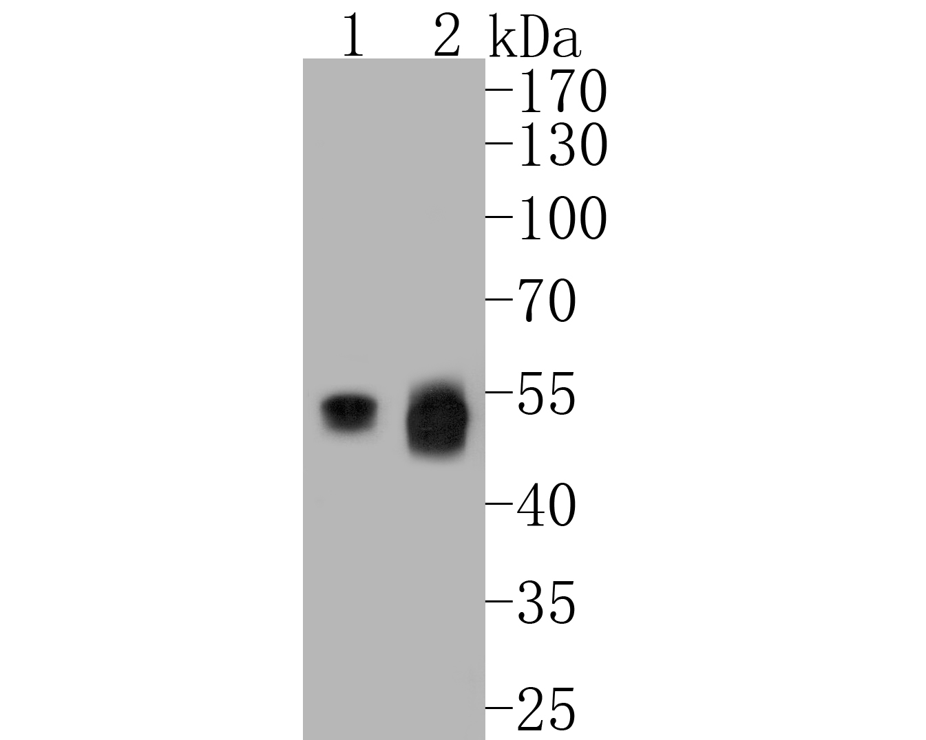 Western blot analysis of UBA3 on different lysates. Proteins were transferred to a PVDF membrane and blocked with 5% BSA in PBS for 1 hour at room temperature. The primary antibody (EM1901-65, 1/500) was used in 5% BSA at room temperature for 2 hours. Goat Anti-Mouse IgG - HRP Secondary Antibody (HA1006) at 1:5,000 dilution was used for 1 hour at room temperature.<br /> Positive control: <br /> Lane 1: HepG2 cell lysate<br /> Lane 2: 293T cell lysate