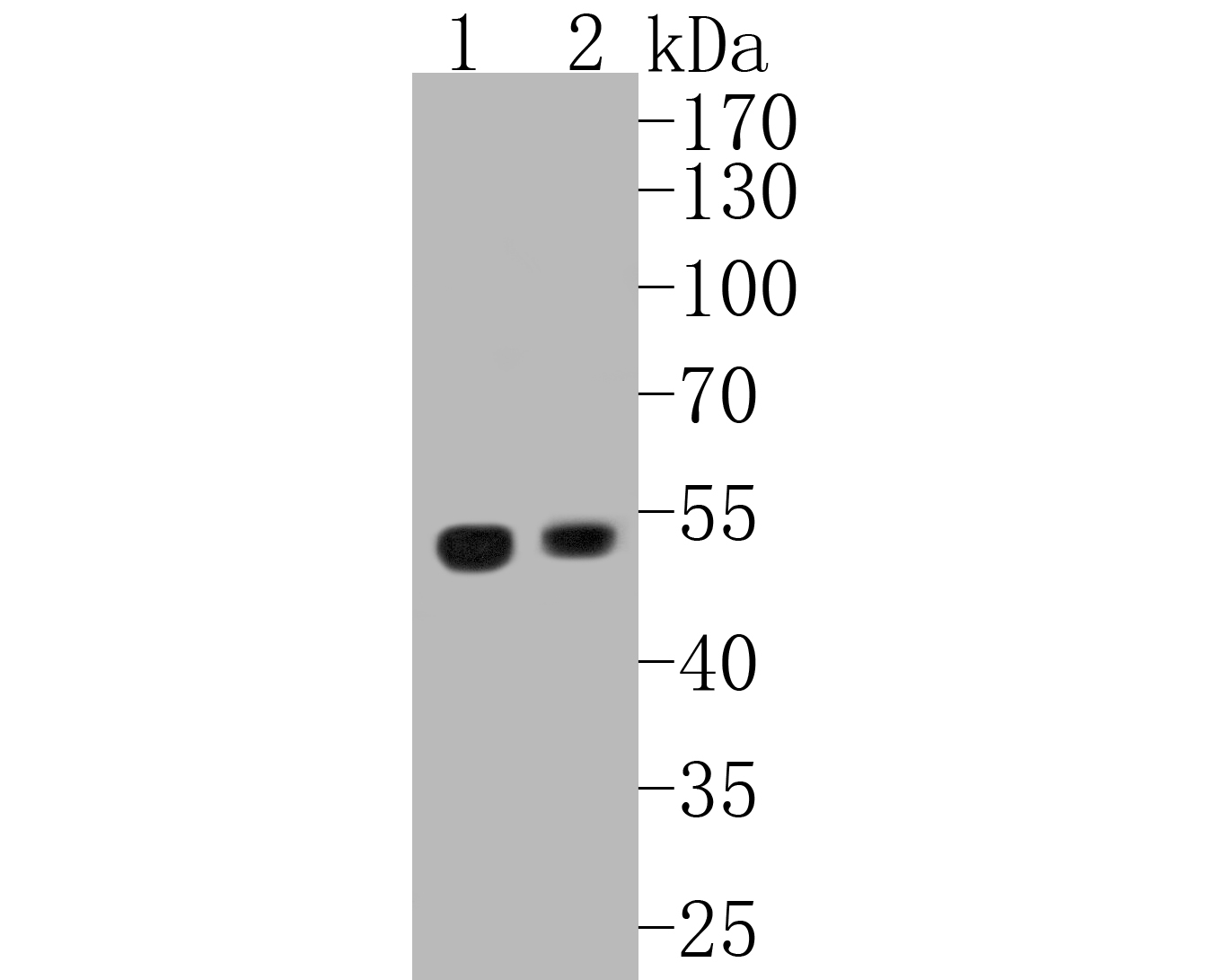 Western blot analysis of UBA3 on different lysates. Proteins were transferred to a PVDF membrane and blocked with 5% BSA in PBS for 1 hour at room temperature. The primary antibody (EM1901-66, 1/500) was used in 5% BSA at room temperature for 2 hours. Goat Anti-Mouse IgG - HRP Secondary Antibody (HA1006) at 1:5,000 dilution was used for 1 hour at room temperature.<br /> Positive control: <br /> Lane 1: 293T cell lysate<br /> Lane 2: HepG2 cell lysate