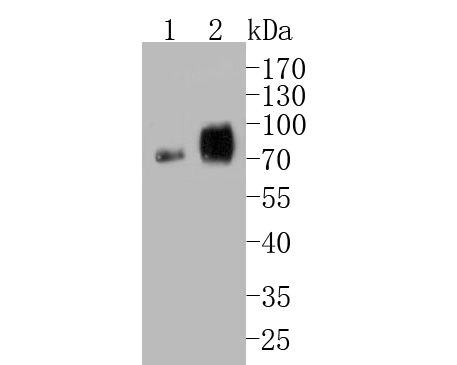 Western blot analysis of CEACAM6 on different lysates. Proteins were transferred to a PVDF membrane and blocked with 5% BSA in PBS for 1 hour at room temperature. The primary antibody (EM1901-68, 1/500) was used in 5% BSA at room temperature for 2 hours. Goat Anti-Mouse IgG - HRP Secondary Antibody (HA1006) at 1:5,000 dilution was used for 1 hour at room temperature.<br /> Positive control: <br /> Lane 1: JAR cell lysate<br /> Lane 2: SK-Br-3 cell lysate