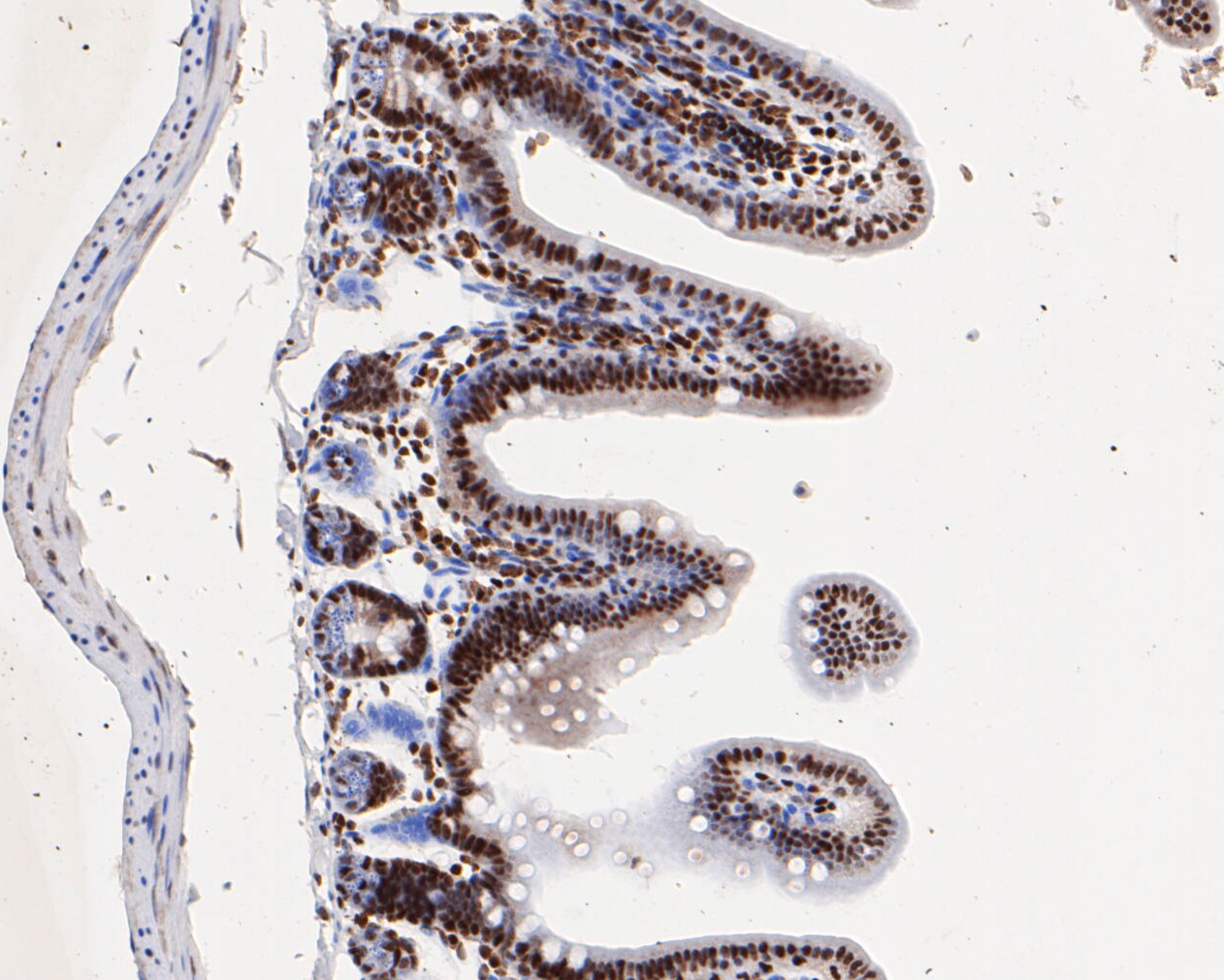 Immunohistochemical analysis of paraffin-embedded mouse small intestine tissue using anti-HMGB2 antibody. The section was pre-treated using heat mediated antigen retrieval with sodium citrate buffer (pH 6.0) for 20 minutes. The tissues were blocked in 5% BSA for 30 minutes at room temperature, washed with ddH2O and PBS, and then probed with the primary antibody (EM1902-06, 1/1,000)  for 30 minutes at room temperature. The detection was performed using an HRP conjugated compact polymer system. DAB was used as the chromogen. Tissues were counterstained with hematoxylin and mounted with DPX.