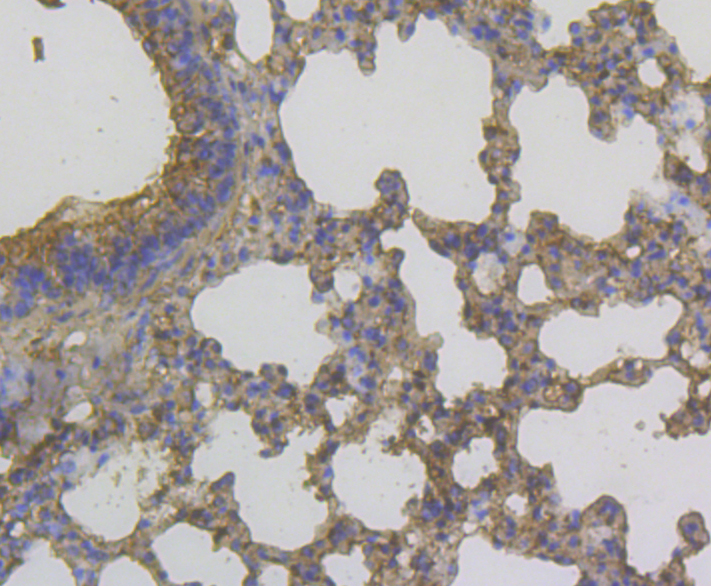 Immunohistochemical analysis of paraffin-embedded mouse lung tissue using anti-YKL-40 / CHI3L1 antibody. The section was pre-treated using heat mediated antigen retrieval with Tris-EDTA buffer (pH 8.0-8.4) for 20 minutes.The tissues were blocked in 5% BSA for 30 minutes at room temperature, washed with ddH2O and PBS, and then probed with the antibody (EM1902-14) at 1/200 dilution, for 30 minutes at room temperature and detected using an HRP conjugated compact polymer system. DAB was used as the chrogen. Counter stained with hematoxylin and mounted with DPX.