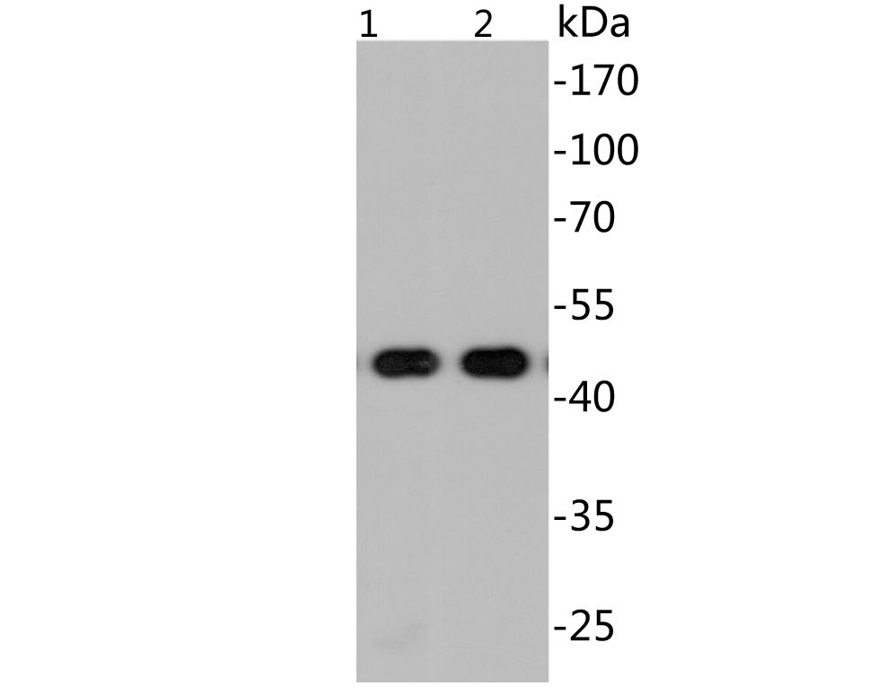 Western blot analysis of EM1902-20 with N-terminal His tag-tagged SARS-CoV-2 Nucleocapsid protein (1) and inactivated native SARS-CoV-2 lysate (2) at 20ng.<br /> Proteins were transferred to a PVDF membrane and blocked with 5% BSA in PBS for 1 hour at room temperature. The primary antibody (EM1902-20, 1/500) was used in 5% BSA at room temperature for 2 hours. Goat Anti-Mouse IgG - HRP Secondary Antibody (HA1006) at 1:20,000 dilution was used for 1 hour at room temperature.