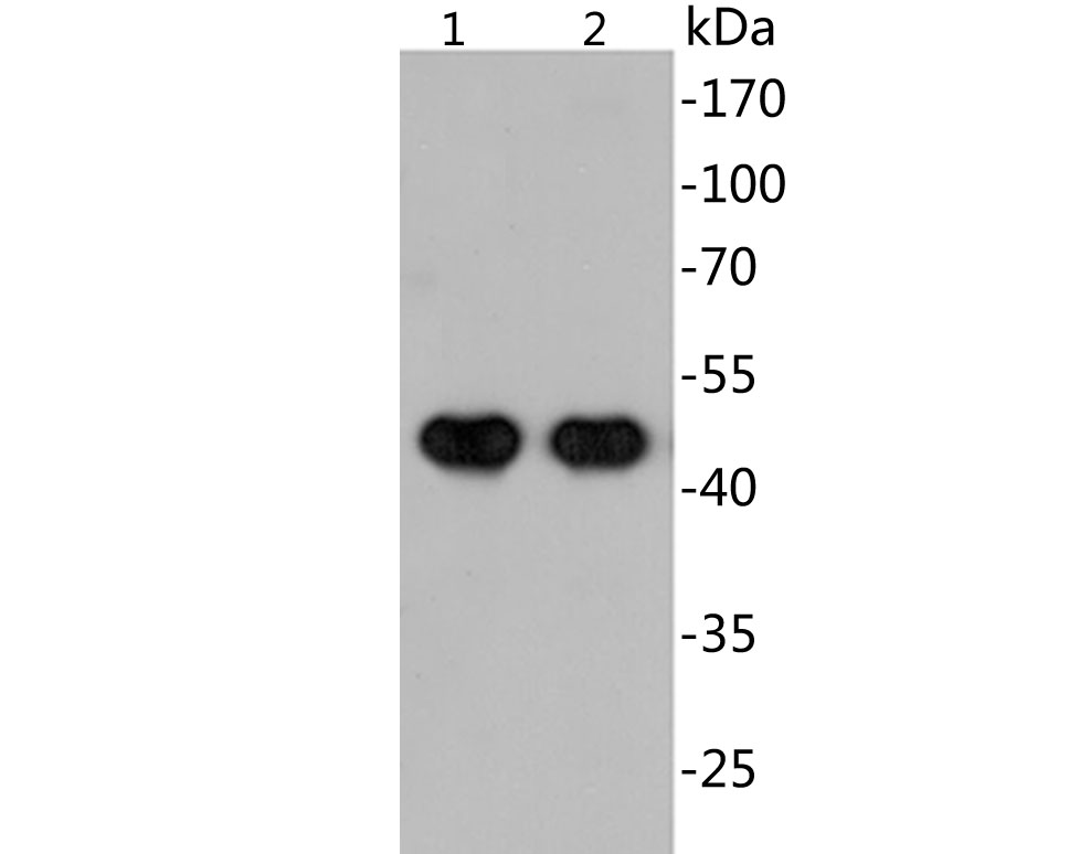 Western blot analysis of EM1902-21 with N-terminal His tag-tagged SARS-CoV-2 Nucleocapsid protein (1) and Inactivated SARS-CoV-2 lysate (2) at 20ng.<br /> Proteins were transferred to a PVDF membrane and blocked with 5% BSA in PBS for 1 hour at room temperature. The primary antibody (EM1902-21, 1/500) was used in 5% BSA at room temperature for 2 hours. Goat Anti-Mouse IgG - HRP Secondary Antibody (HA1006) at 1:20,000 dilution was used for 1 hour at room temperature.