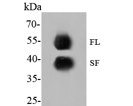 Western blot analysis of GATA3 on MCF-7 cell lysate. Proteins were transferred to a PVDF membrane and blocked with 5% BSA in PBS for 1 hour at room temperature. The primary antibody (EM1902-23, 1/500) was used in 5% BSA at room temperature for 2 hours. Goat Anti-Mouse IgG - HRP Secondary Antibody (HA1006) at 1:5,000 dilution was used for 1 hour at room temperature.<br /> Specific bands were detected for GATA3 full length (FL) at approximately 52 kDa and the splice form (SF) at approximately 39 kDa (as indicated).