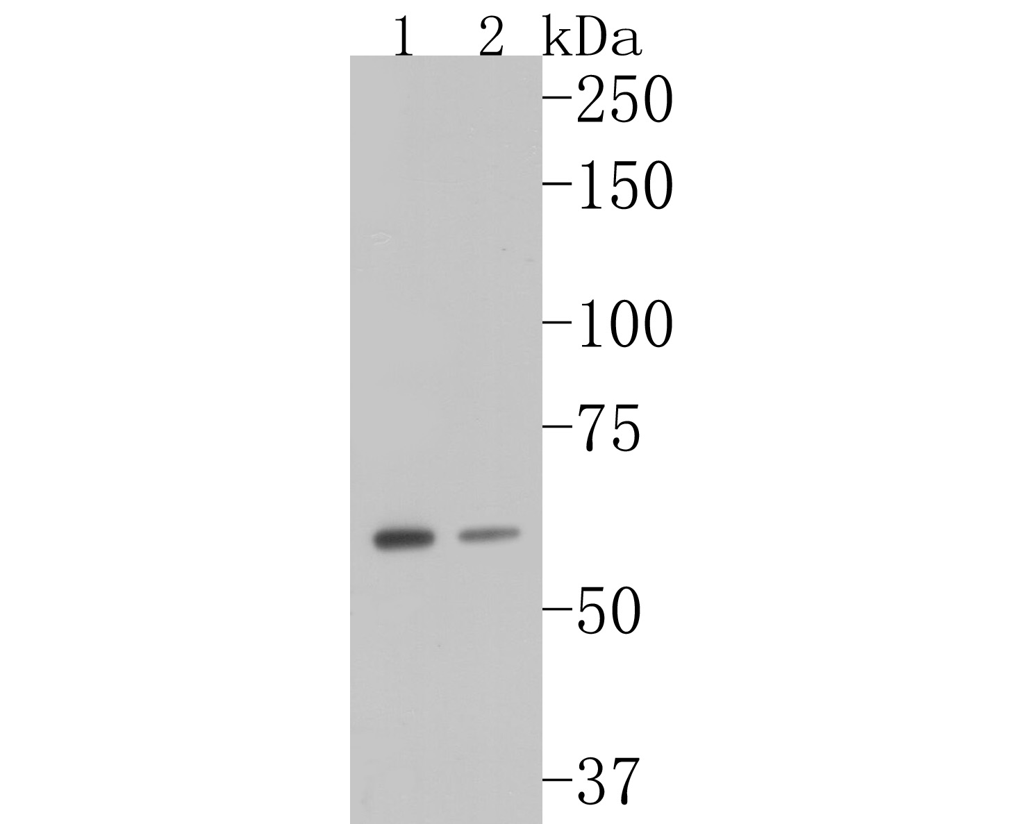 Western blot analysis of GADD34 on different lysates. Proteins were transferred to a PVDF membrane and blocked with 5% BSA in PBS for 1 hour at room temperature. The primary antibody (EM1902-26, 1/500) was used in 5% BSA at room temperature for 2 hours. Goat Anti-Mouse IgG - HRP Secondary Antibody (HA1006) at 1:5,000 dilution was used for 1 hour at room temperature.<br />  Positive control: <br />  Lane 1: HepG2 cell lysate<br />  Lane 2: K562 cell lysate