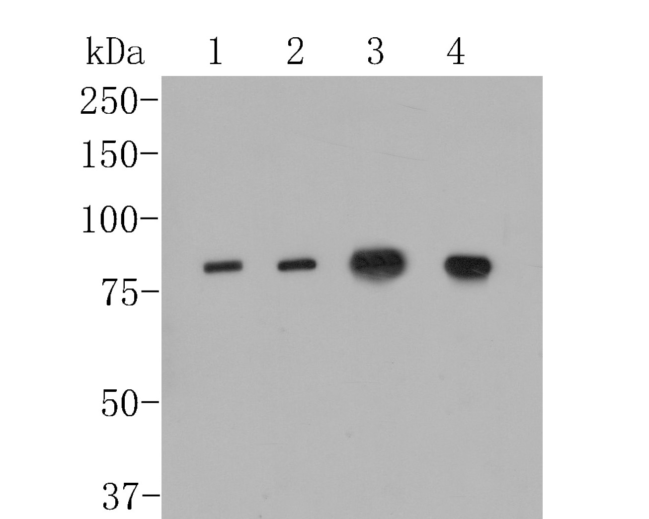 Western blot analysis of APOER2 on different lysates. Proteins were transferred to a PVDF membrane and blocked with 5% BSA in PBS for 1 hour at room temperature. The primary antibody (EM1902-30, 1/500) was used in 5% BSA at room temperature for 2 hours. Goat Anti-Mouse IgG - HRP Secondary Antibody (HA1006) at 1:5,000 dilution was used for 1 hour at room temperature.<br /> Positive control: <br /> Lane 1: A549 cell lysate<br /> Lane 2: SHSY5Y cell lysate<br /> Lane 3: SKBR-3 cell lysate<br /> Lane 4: U937 cell lysate