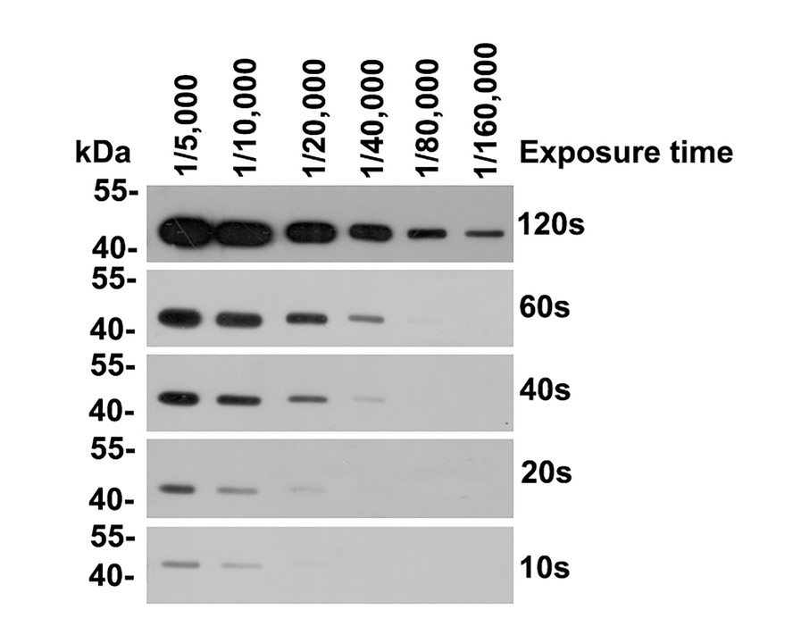 Western blot analysis of Beta-actin on different lysates using anti-Beta-actin antibody at 1/10,000 dilution.<br /> Positive control:<br /> Lane 1: NIH/3T3 cell lysate<br /> Lane 2: PC12 cell lysate<br /> Lane 3: MCF-7 cell lysate<br /> Lane 4: HepG2 cell lysate<br /> Lane 5: Hela cell lysate<br /> Lane 6: Mouse lung tissue lysate