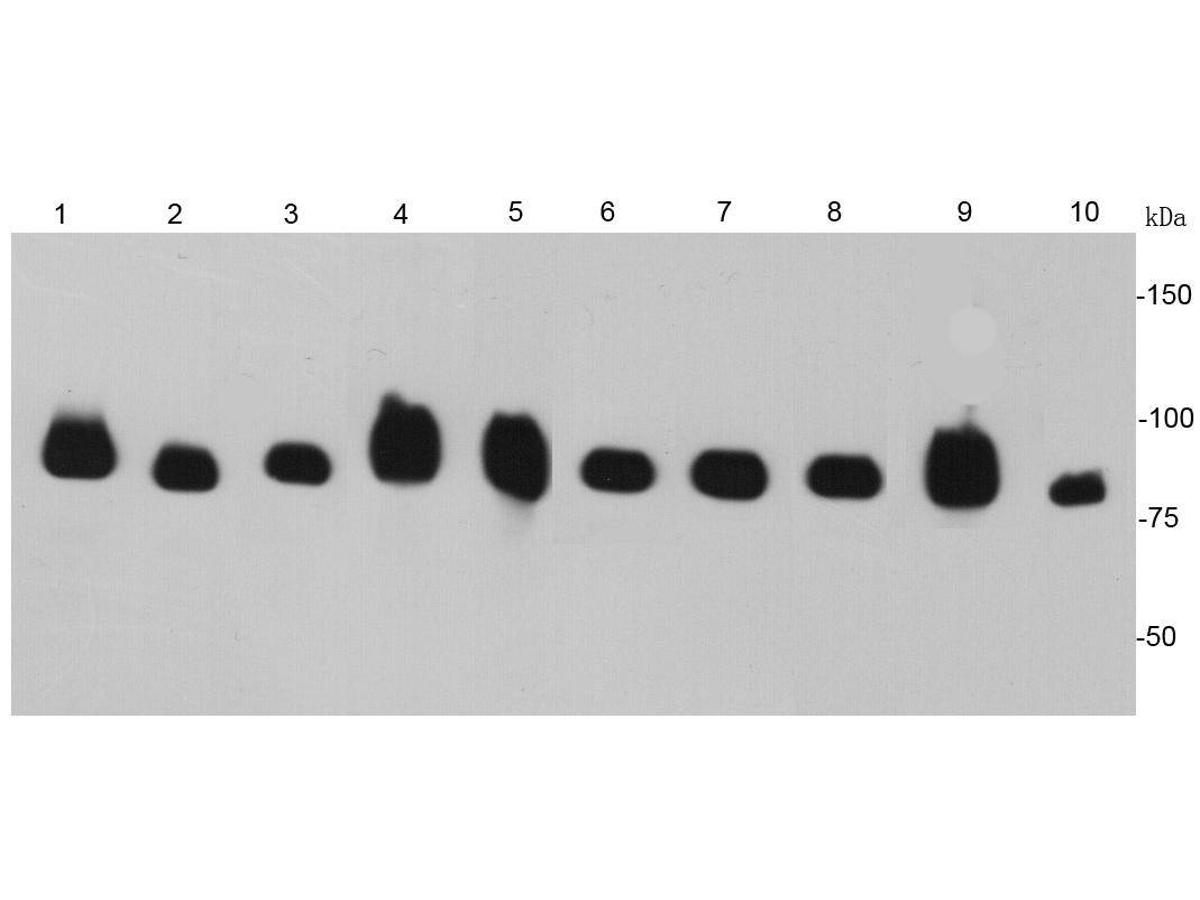 Western blot analysis of HSP90 beta on different cell lysates using anti- HSP90 beta antibody at 1/5000 dilution.<br />  Positive control: <br />   Lane 1: Hela <br />   Lane 2: NIH/3T3 <br />   Lane 3: PC12 <br />   Lane 4: 293T <br />   Lane 5: HePG2 <br />   Lane 6: COS-1 <br />   Lane 7: Jurkat <br />   Lane 8: A549 <br />   Lane 9: Raji <br />   Lane 10: Mouse heart tissue
