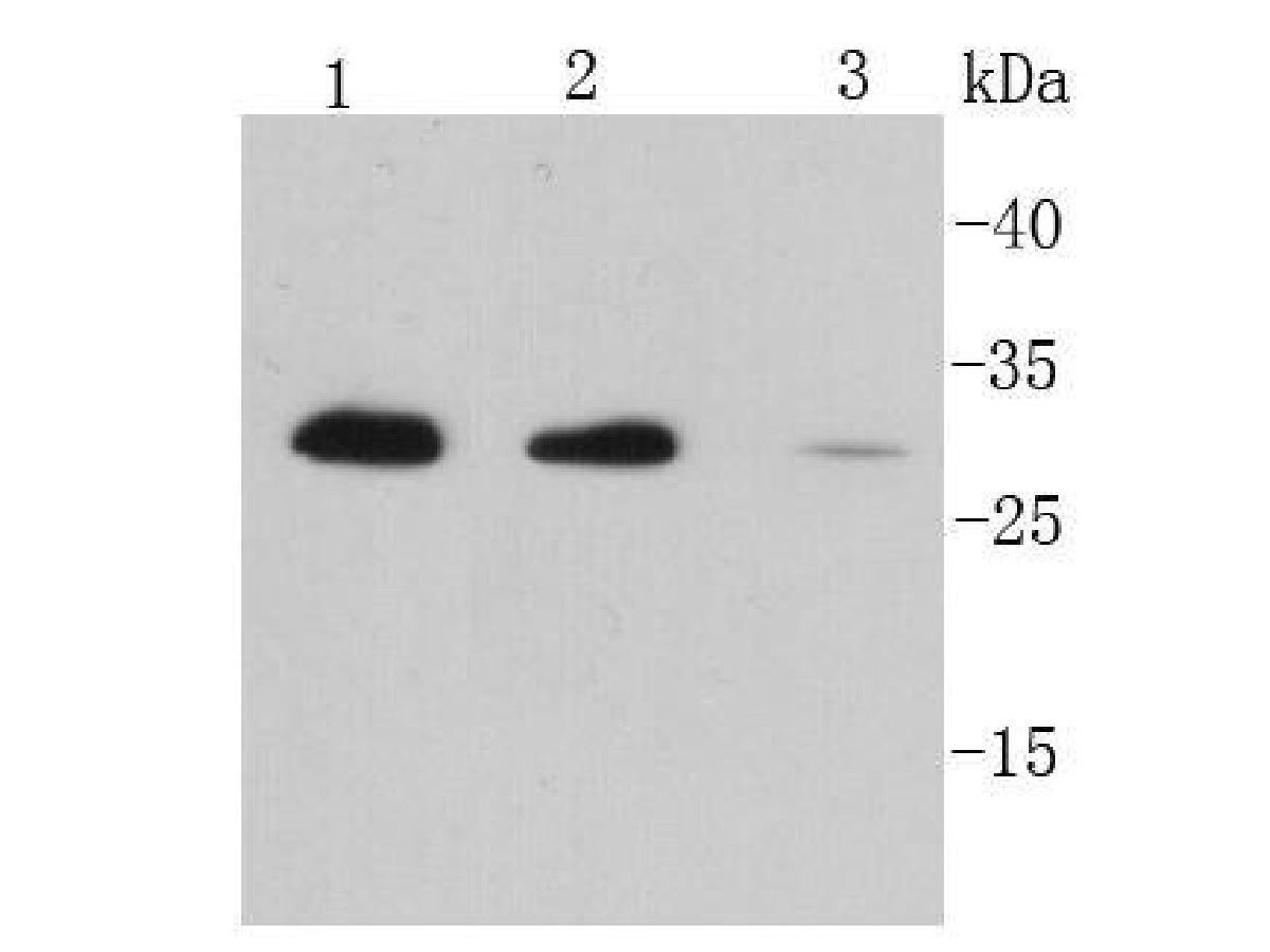 Western blot analysis of IL-6 on different lysates. Proteins were transferred to a PVDF membrane and blocked with 5% BSA in PBS for 1 hour at room temperature. The primary antibody (EM30301, 1/500) was used in 5% BSA at room temperature for 2 hours. Goat Anti-Mouse IgG - HRP Secondary Antibody (HA1006) at 1:20,000 dilution was used for 1 hour at room temperature.<br /> Positive control: <br /> Lane 1: Jurkat cell lysate<br /> Lane 2: Raji cell lysate<br /> Lane 3: Daudi cell lysate