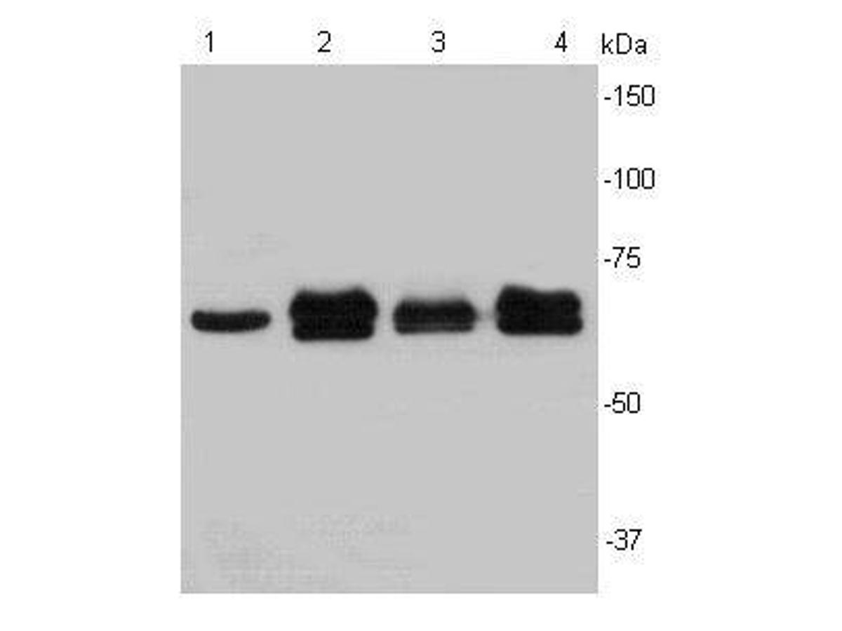 Western blot analysis of Lamin B2 on different cell lysates using anti-LMNB2 antibody at 1/1000 dilution.<br /> Positive control:    <br /> Lane 1: Hela   <br /> Lane2 :Jurkat  <br /> Lane 3: HepG2  <br /> Lane 4:Raji