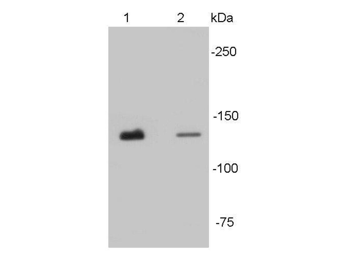Western blot analysis of N-cadherin on different tissue lysates using anti- N-cadherin antibody at 1/500 dilution.<br /> Positive control: <br /> Lane 1: Mouse heart lysates<br /> Lane2 : Human heart lysates