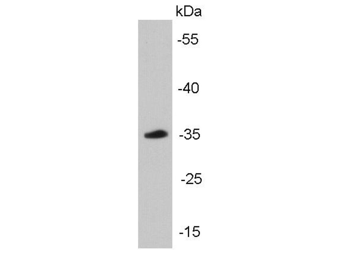 Western blot analysis of cyclin D1 on mouse brain tissue lysates using anti-Cyclin D1 antibody at 1/5000 dilution.<br /> Positive control: mouse brain