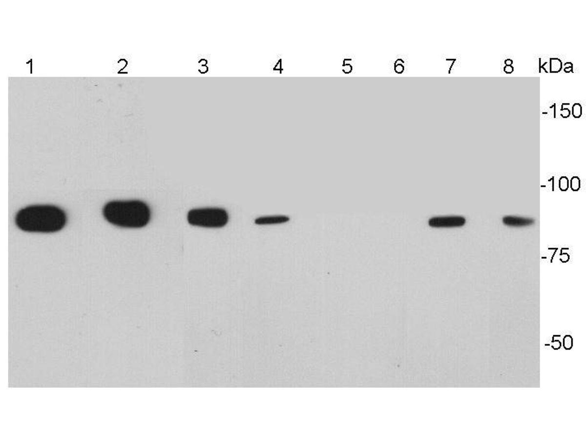 Western blot analysis of CD34 on different cell lysates using anti-CD34antibody at 1/1000 dilution.<br /> Positive control:    <br /> Lane 1: Human brain   <br /> Lane 2: Mouse brain  <br /> Lane 3: Mouse testis   <br /> Lane 4: Mouse thymus  <br /> Lane 5: Mouse spleen  <br /> Lane 6:Jurkat  <br /> Lane 7: TF-1          <br />  Lane 8: F9