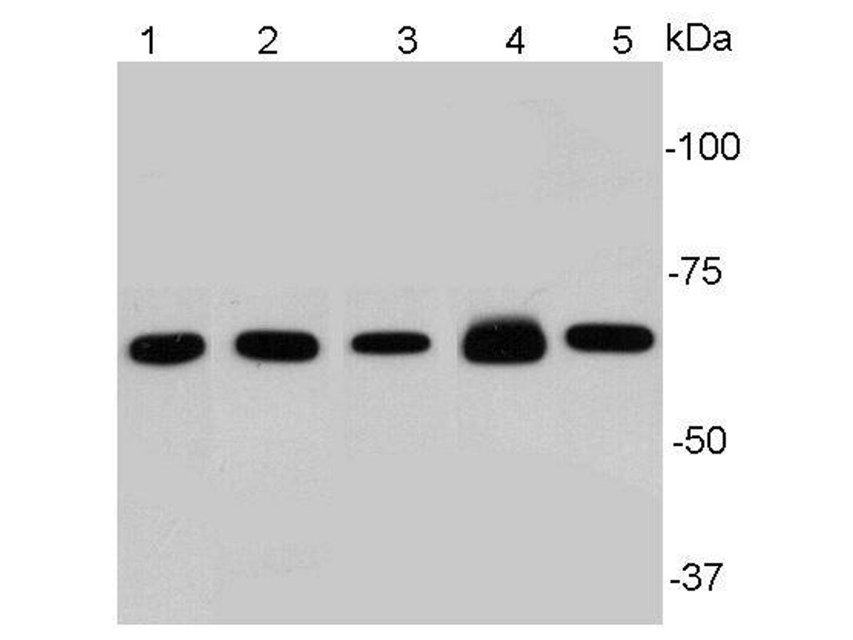 Western blot analysis of NF-κB p65 on different lysates using anti-NF-κB p65 antibody at 1/1000 dilution.<br />  Positive control:<br />  Lane 1: Hela<br />  Lane 2: A549<br />  Lane 3: PC12<br />  Lane 4: Mouse embryonic stem cell<br />  Lane 5: NIH/3T3