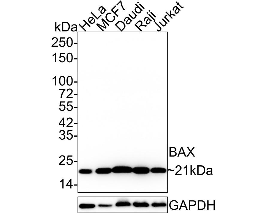 Western blot analysis of Bax on different lysates using anti-Bax antibody at 1/500 dilution.<br /> Positive control: <br />   Lane 1: HepG2  Lane2 :Hela  Lane 3:Mouse embryonic stem cell  Lane 4:PC12  Lane 5:F9