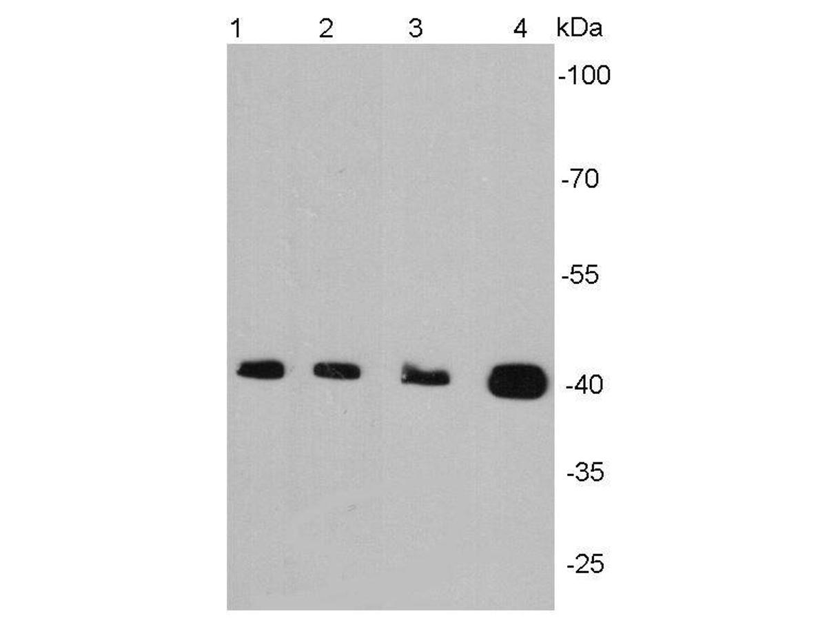 Western blot analysis of alpha smooth muscle actin on different cell lysates using anti-Alpha smooth muscle actin antibody at 1/2000 dilution.<br /> Positive control: <br />   Lane 1: Jurkat <br />   Lane2 : NIH/3T3 <br />   Lane 3: Mouse embryonic stem cell <br />   Lane 4: Mouse colon