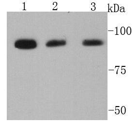 Western blot analysis of LGR5 on different cell lysates using anti- VCP antibody at 1/1000 dilution.<br />  Positive control:<br />  Lane 1: F9<br />  Lane 2: Hela<br />  Lane 3: K562
