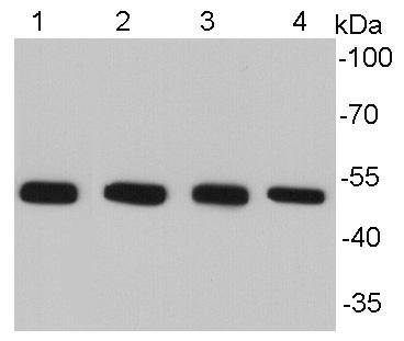 Western blot analysis of Alpha-tubulin on different cell lysates using anti-Alpha -tubulin antibody at 1/10000 dilution.<br /> Positive control: <br /> Lane 1: NIH/3T3 <br /> Lane 2: HepG2 <br /> Lane 3: PC12 <br /> Lane 4: Hela