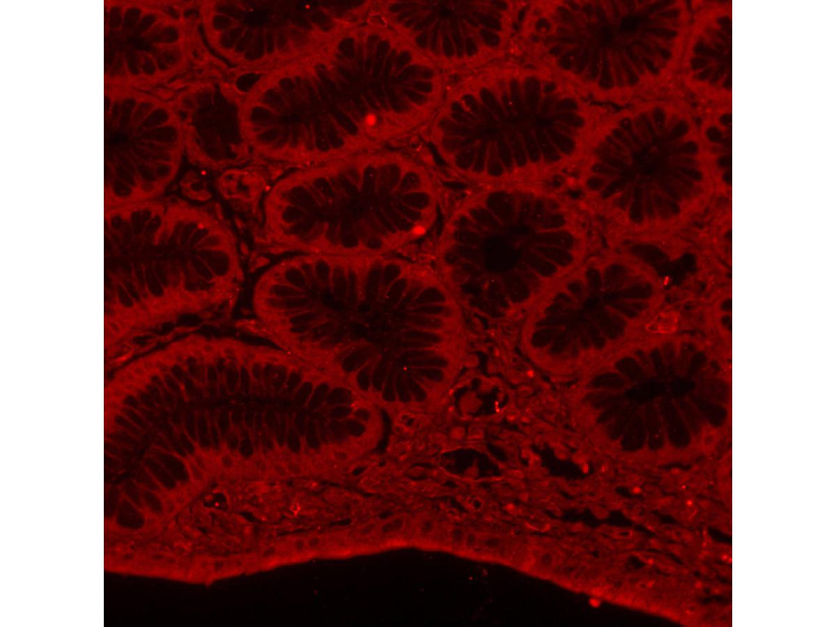 IHC-P image of Alpha-tubulin staining with Alpha-tubulin antibody on tissue sections from human stomach. The secondary used was an Alexa-Fluor 555 conjugated goat anti-rabbit polyclonal.