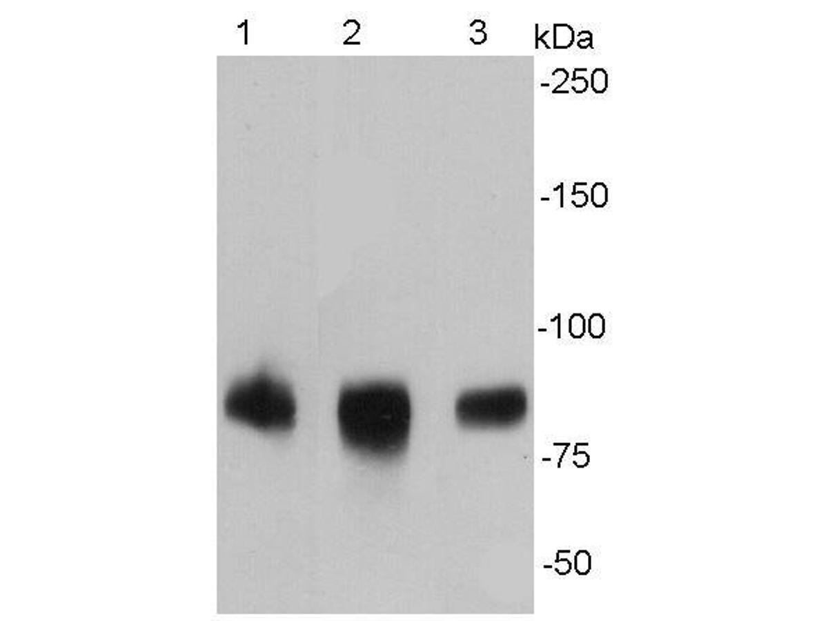 Western blot analysis of ICAM1 on different cell lysates using anti- ICAM1 antibody at 1/500 dilution.<br />  Positive control: <br />   Lane 1: Raji <br />   Lane 2: HUVEC <br />   Lane 3: K562