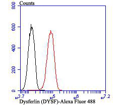 Flow cytometric analysis of HUVEC cells with Dysferlin antibody at 1/100 dilution (red) compared with an unlabelled control (cells without incubation with primary antibody; black). Alexa Fluor 488-conjugated goat anti rabbit IgG was used as the secondary antibody.